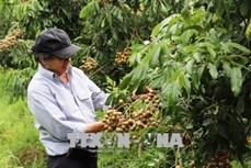 Ông Võ Văn Toán trồng nhãn cao sản có hiệu quả kinh tế cao