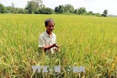 Lúa đặc sản hữu cơ cho ông Nguyễn Ngọc Triều lợi nhuận gấp đôi lúa thường