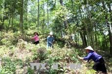 Lai Châu làm tốt công tác bảo vệ rừng mang lại môi trường trong lành và lợi ích kinh tế