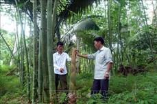 Trồng tre lấy măng giúp nông dân Sơn Phú thoát nghèo