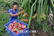 Chương trình mỗi xã một sản phẩm đưa thanh long ruột đỏ huyện Kon Rẫy vươn tầm