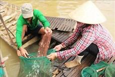 Săn cá linh mùa nước nổi ở An Giang