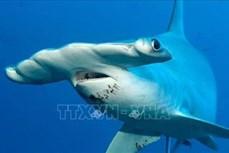 Cá mập đầu búa thích ăn chay