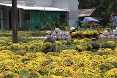 """Tết """"vui"""" với người trồng hoa Chợ Lách"""