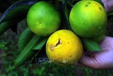 Cam rụng quả hàng loạt khiến nông dân huyện miền núi Con Cuông thiệt hại lớn