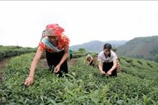 Lai Châu chú trọng xây dựng vùng nguyên liệu chè sạch cho xuất khẩu