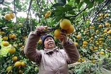 Trồng cam hữu cơ ở vùng gò đồi xã Hải Phú cho thu nhập cao