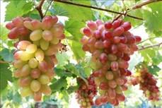 Ninh Thuận phát triển nhiều giống nho chất lượng cao