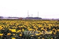 Làng hoa Tây Tựu, Hà Nội rộn ràng chuẩn bị mùa hoa Tết Canh Tý