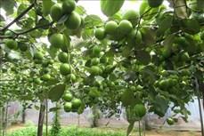 Ninh Thuận mở rộng quy mô trồng táo