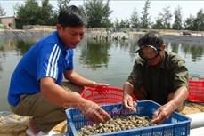 Quảng Bình: Nhân rộng mô hình nuôi ốc hương ở vùng ven biển