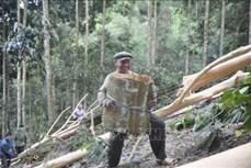 Người Dao ở Lào Cai xây dựng thương hiệu sản phẩm quế hữu cơ