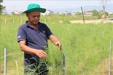 Trồng măng tây trên đất cát giúp đồng bào Chăm tăng thu nhập
