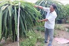 Chuyên canh cây ăn quả có lợi thế ở vùng thuần nông