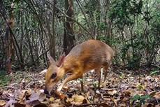 越南发现30年来疑似已经灭绝的世界上最小偶蹄动物