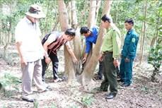 Cộng đồng người Bahnar chăm sóc, bảo vệ cây trắc quý hiếm