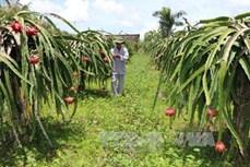 Bình Thuận mở rộng diện tích thanh long theo tiêu chuẩn VietGAP