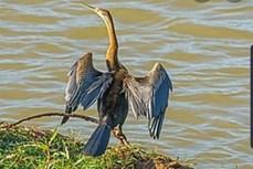 越南同奈省发现濒危动物--蛇鸟