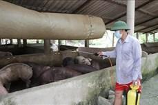 Quảng Bình kiểm soát chặt dịch lở mồm long móng trên đàn trâu, bò