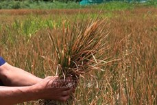 Nông nghiệp Tây Nguyên thích ứng với biến đổi khí hậu (Bài 1)