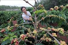 Nông nghiệp Tây Nguyên thích ứng với biến đổi khí hậu (Bài 4)