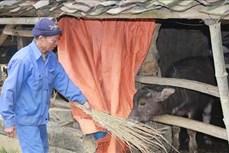 Lạng Sơn: Phòng chống rét và sương muối cho gia súc, vật nuôi