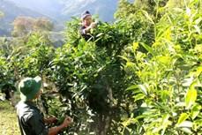 努力让越南山雪茶走向世界