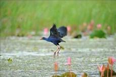 Mùa chim di trú trên đầm Vân Long, Ninh Bình