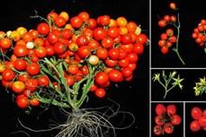 Cà chua biến đổi gien ra trái chùm như nho