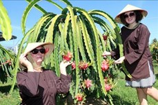 Về Bình Thuận nghe đờn ca tài tử, trải nghiệm vườn Thanh Long