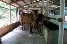 Cao Bằng giám sát chặt và phòng, chống dịch lở mồm long móng trên đàn gia súc