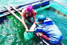Khánh Hòa sản xuất thành công giống nhân tạo điệp seo và chuyển giao cho người dân