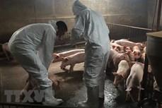 联合国粮农组织帮助越南控制非洲猪瘟疫情