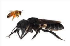 Loài ong lớn nhất thế giới tái xuất hiện ở Indonesia