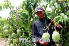 Bán cây xoài qua mạng giúp nông dân Đồng Tháp có thu nhập khá