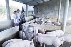 Chị Nguyễn Thị Anh Đào làm giàu từ mô hình trang trại chăn nuôi lợn