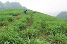 Sả đỏ - hướng thoát nghèo mới bền vững cho nông dân Lào Cai