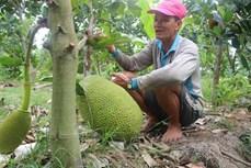 Nông dân Đồng Tháp trồng mít Thái lãi cao
