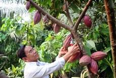 Hiệu quả kép từ trồng ca cao xen dừa