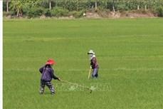 Phòng trừ sâu bệnh gây hại lúa Chiêm Xuân
