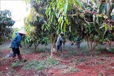 Nông dân Sơn La sản xuất nông sản đáp ứng tiêu chuẩn xuất khẩu