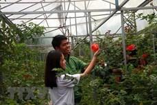 Muôn sắc hoa hồng níu chân du khách tại Đà Lạt