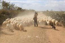 Ninh Thuận bảo vệ đàn gia súc trước tình trạng nắng hạn kéo dài