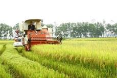 Quảng Trị liên kết sản xuất lúa hữu cơ, chất lượng cao trên cánh đồng lớn