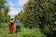 Hướng đi mới hiệu quả của nông dân Gia Lai