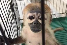 Tây Ninh: Cứu hộ một cá thể voọc Chà Vá thuộc danh mục nguy cấp, quý hiếm