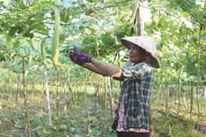 Nông dân Khmer thực hiện nhiều mô hình sản xuất thích ứng biến đổi khí hậu