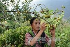 Yên Bài phát triển cây lâm sản ngoài gỗ
