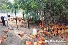 Phát triển mô hình kinh tế trang trại trên cát ở Quảng Điền