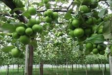 Nhân rộng mô hình trồng táo an toàn trong nhà lưới ở Ninh Thuận
